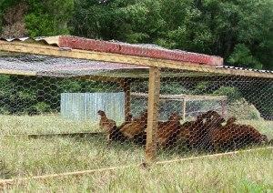 Chicken Tractor1