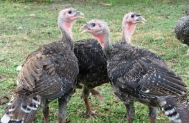 Standard Bronze Turkeys